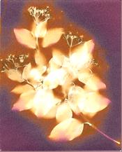 full-flower